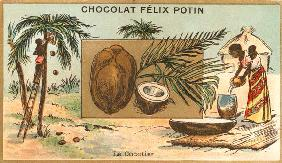 Coconut Palm / Collector s Card, c.1890