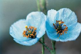 Himalayan Blue Poppy (Meconopsis aculeata) (photo)