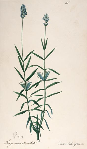 Lavender / Feather lithograph 1820