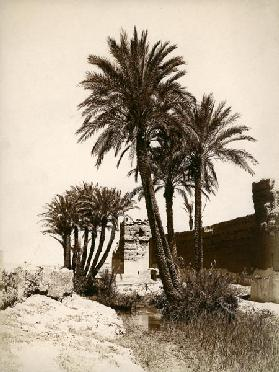 Date palm / Morocco c.1900
