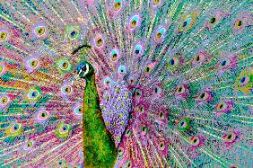 Psychedelic Peacock
