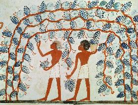 Picking grapes, from the Tomb of Nakht, New Kingdom