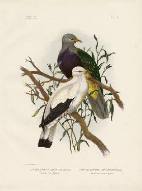 Allied Fruit Pigeon Or Wompoo Fruit-Dove 1891