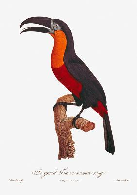 Toucan: Great Red-Bellied
