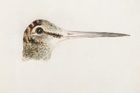 Woodcock, from The Farnley Book of Birds, c.1816 (pencil and w/c on paper) 1552