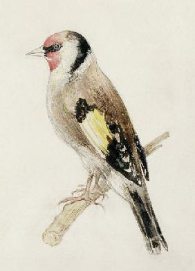Goldfinch, from The Farnley Book of Birds, c.1816 (pencil and w/c on paper) 19th