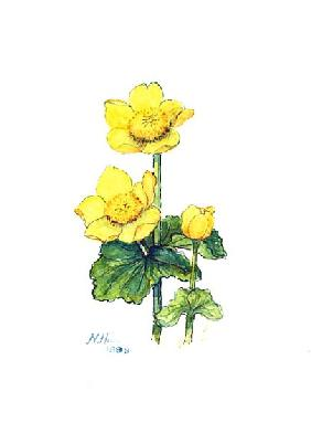 Marsh Marigold, 1998 (w/c on paper)