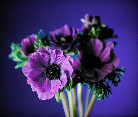 Anemonies, 1998 (colour photo)