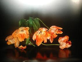 Drooping parrot tulips, 1990 (colour photo)