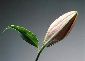 Lily bud & leaf, 1999 (colour litho)