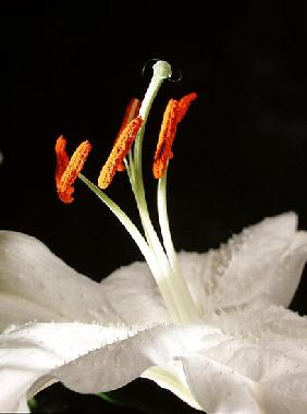 Lily Stamens, 2001 (colour photo)