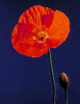 Poppy, 1996 (colour photo)