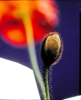 Poppy bud, 1996 (colour photo)