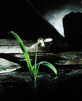 Snowdrop / Slate, 1995 (colour photo)
