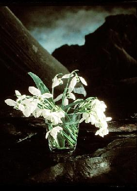 Snowdrops, 1995 (colour photo)