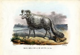 Fat-Tailed Sheep 1863-79