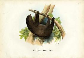 Pale-Throated Sloth 1863-79