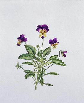 Viola Tricolor, 1999 (w/c on paper)