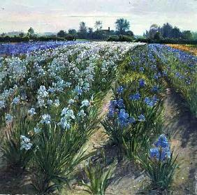 Blue and White Irises, Wortham (oil on canvas)