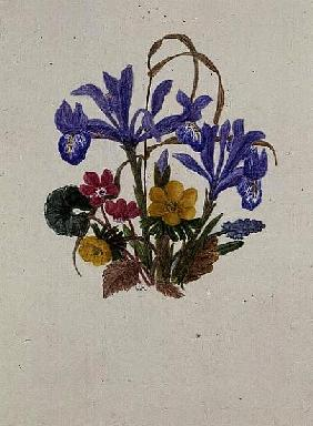 Iris Histiodes, Cyclamen, Aconite and Grape (w/c on paper)